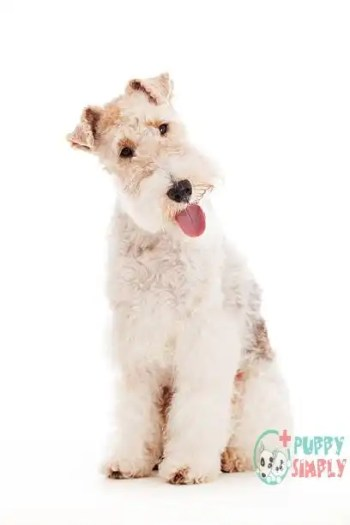 Health Problems With Toy Breeds