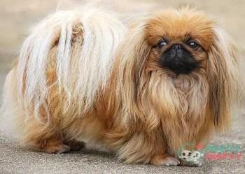 Pekingese toy dog breeds