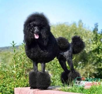 Poodle toy dog breeds
