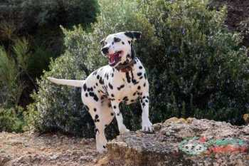 Dalmatian farm dog