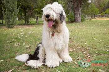 Old English Sheepdog farm dog