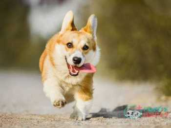 Welsh Corgi farm dog