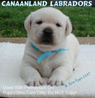Canaanland Labradors