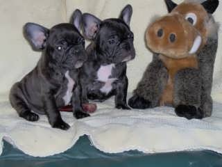 Etenna Bull Terriers and French Bulldogs