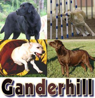 Ganderhill Labrador Retrievers