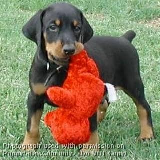 K-Nine Dobermans, Doberman puppies for sale