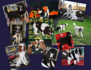 Oak Hill Farm Standard Poodles