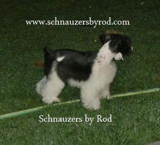 Schnauzers By Rod