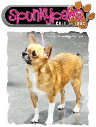 Spunkypaws Chihuahuas
