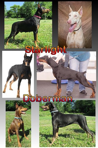 Starlight Doberman