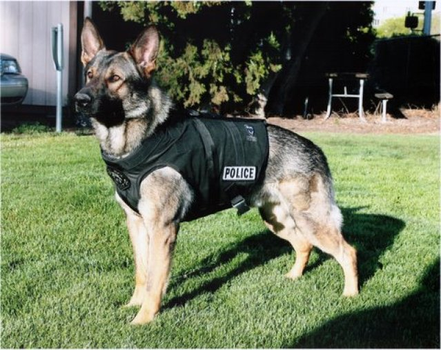 German-Shepherd police dog