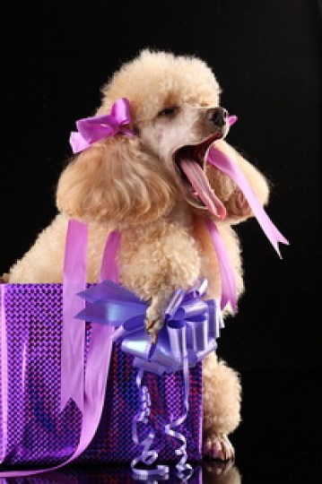 spoiled dog with presents