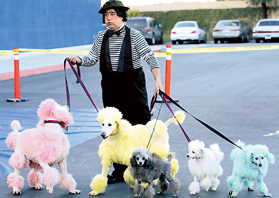 taking poodles for a walk