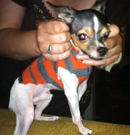 Chihuahua pic