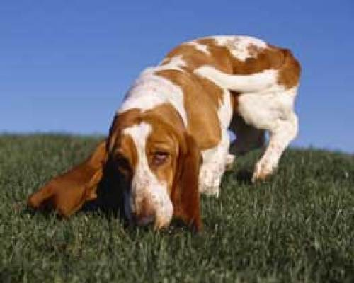 basset hound with long ears