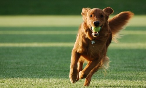 dog-fetching