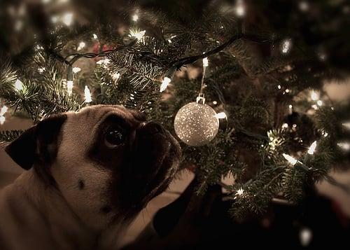 pug looking at a christmas ball