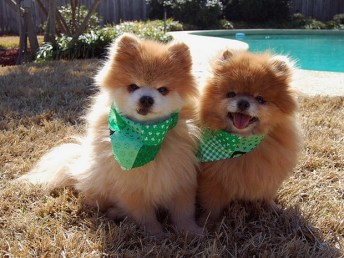 Irish Dogs 2