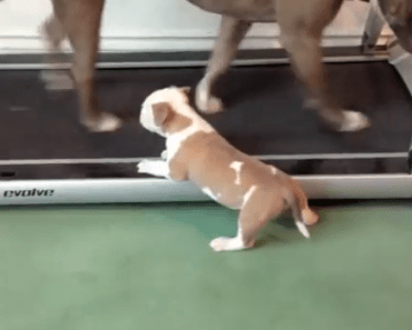 Dog Video of the Day:  Cute Puppy Pit Bull Learns to Walk the Machine