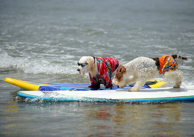 Surfing_Dogs_8