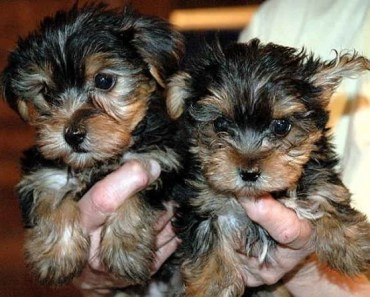 Dog Breed of the Day:  The Yorkshire Terrier