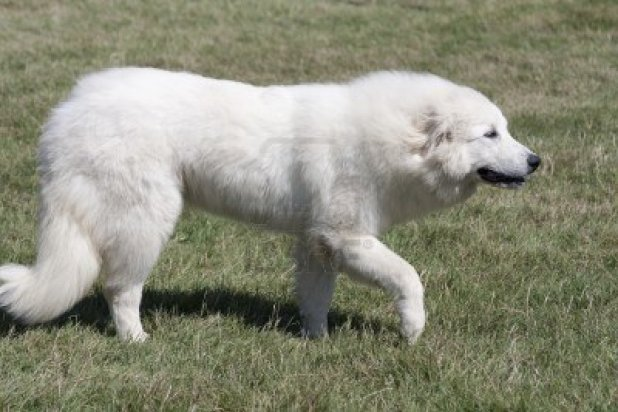 great-pyrenees-dog-walking-on-the-grass
