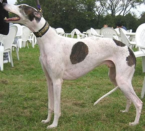 greyhound_h03