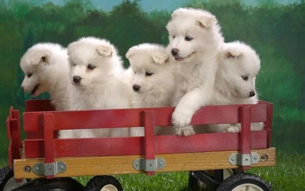 samoyed_dog_2