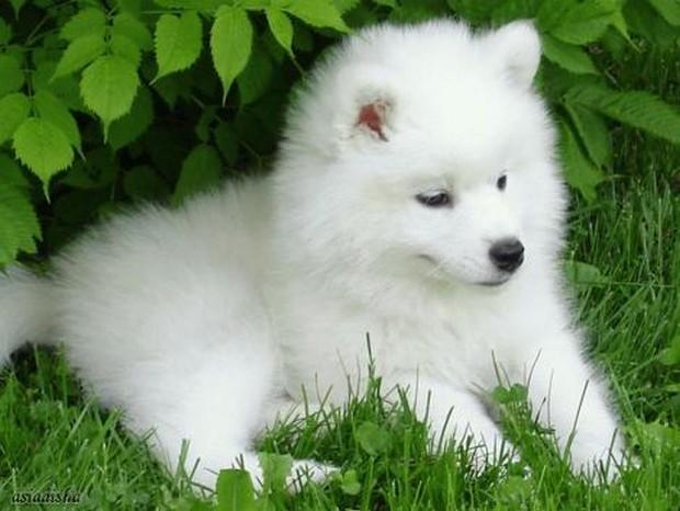 samoyed_dog_6