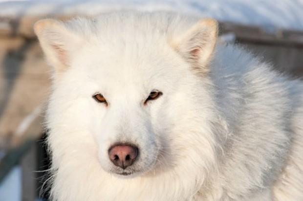 samoyed_dog_9