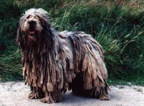 1198066157bergamasco_sheepdog
