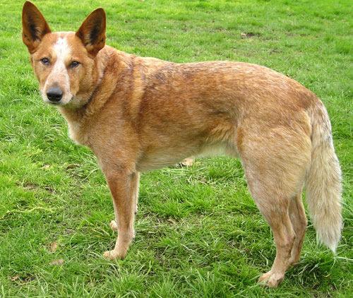 Australian-cattle-dog- Ellen-Levy-Finch-1