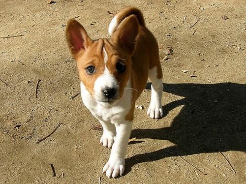 Basenji-Puppies