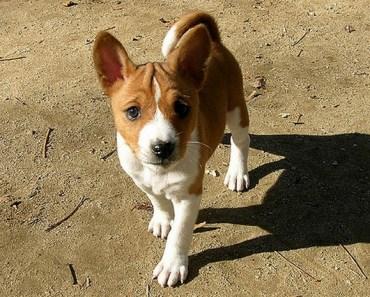Dog Breed of the Day:  Basenji