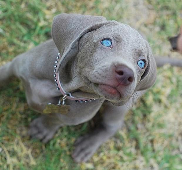 Blue_Eyed_Dogs_10