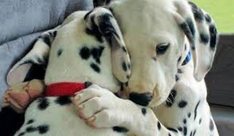 Dalmation hugging