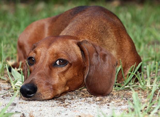 dachshund_4