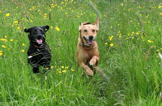 Dogs in Grass