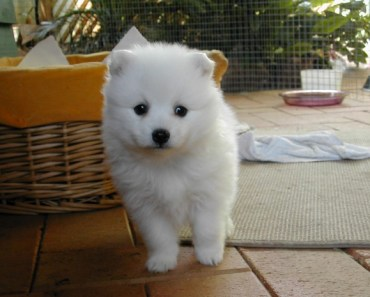 Dog Breed of the Day:  Japanese Spitz