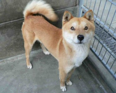 Dog Breed of the Day:  Jindo