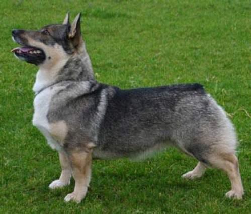Swedish-Vallhund-Dog-Breed-Photos