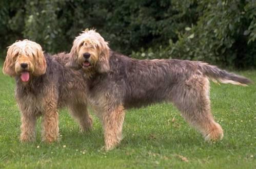 Two_otterhounds