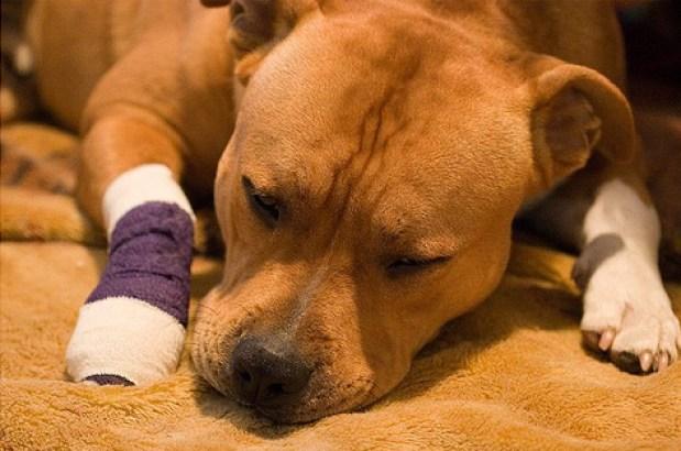 bandaged-sick-dog