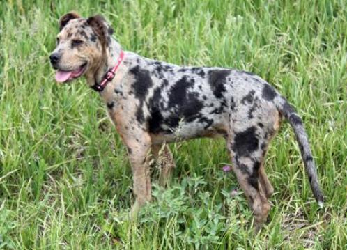 catahoula-leopard-dog
