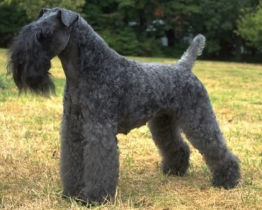 Dog Breed of the Day:  Kerry Blue Terrier