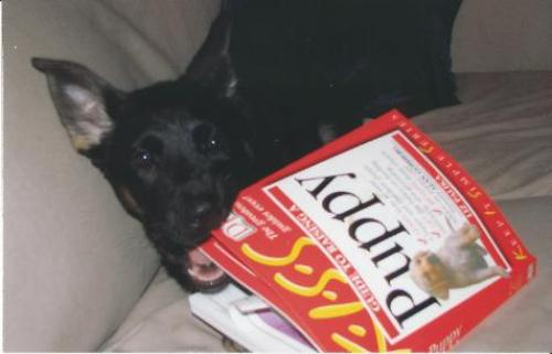 nila_chewing_up_puppy_training_book-476x306