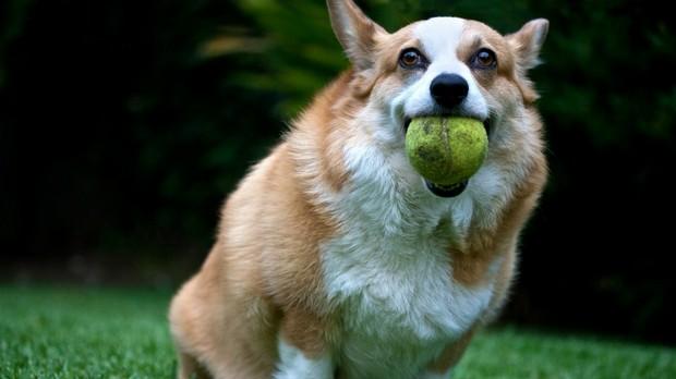 Dog_Tennis_Ball_5