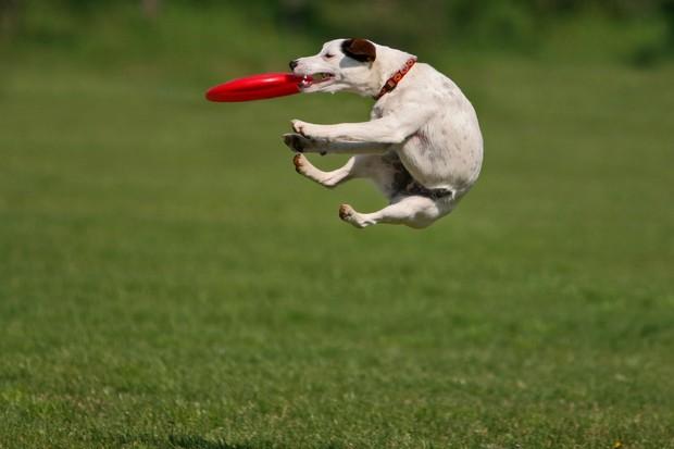 Frisbee_Dog_1