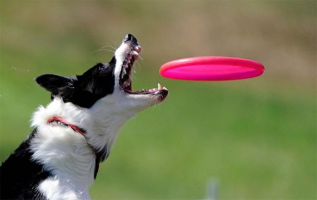 Frisbee_Dog_5