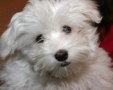 Dog Breed of the Day:  Maltese